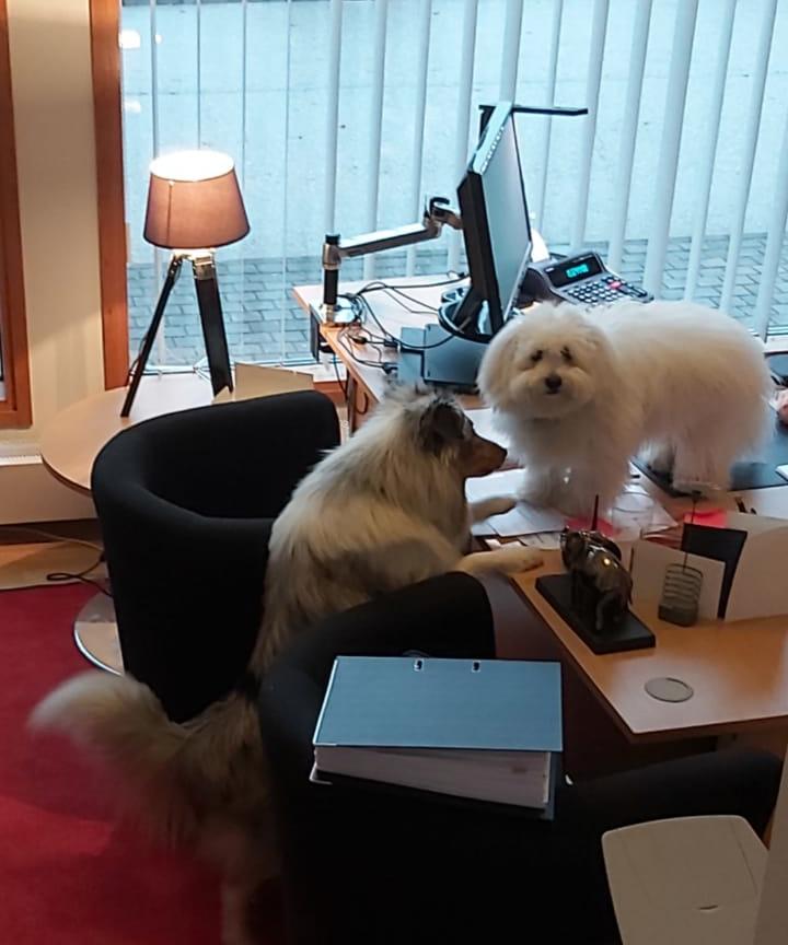 Porvoon Tilipalvelun toimistoapulaiset vauhdissa. Kuvassa toimistokoirat Elsa & Bowie.